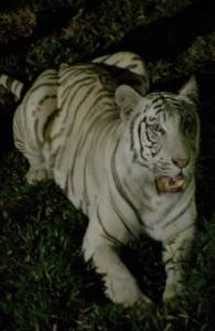 De dieren in de Chiang Mai Night Safari leven in een natuurlijke omgeving.