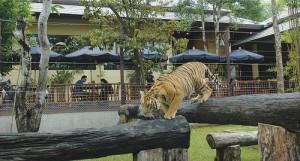 Het Tiger Kingdom is een kleinschalige attractie in de Maesa Valley.