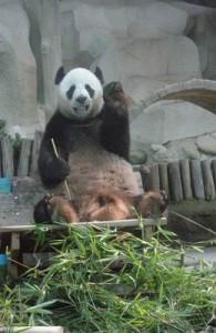 Bijzonder in de Chiang Mai Zoo zijn de reuze panda's.
