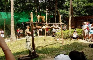 Apen worden van oudsher gebruikt om rijpe kokosnoten te plukken.