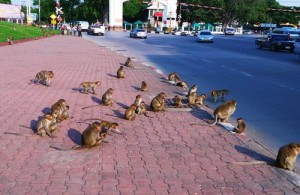 Lopburi  is vooral bekend vanwege zijn makaken die hier leven in het midden van de stad.