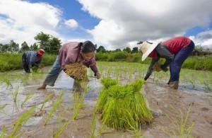 De vele rijstvelden in de Isaan geven een beeld van het 'oude Thailand'.